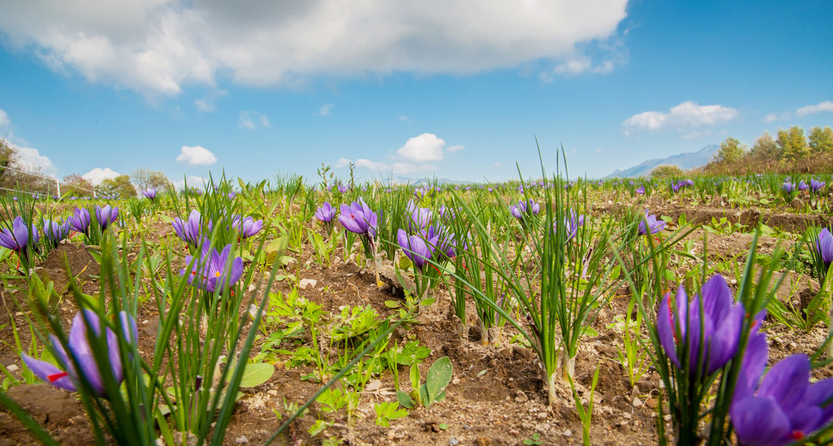 Saffron cultivation in Lombardy